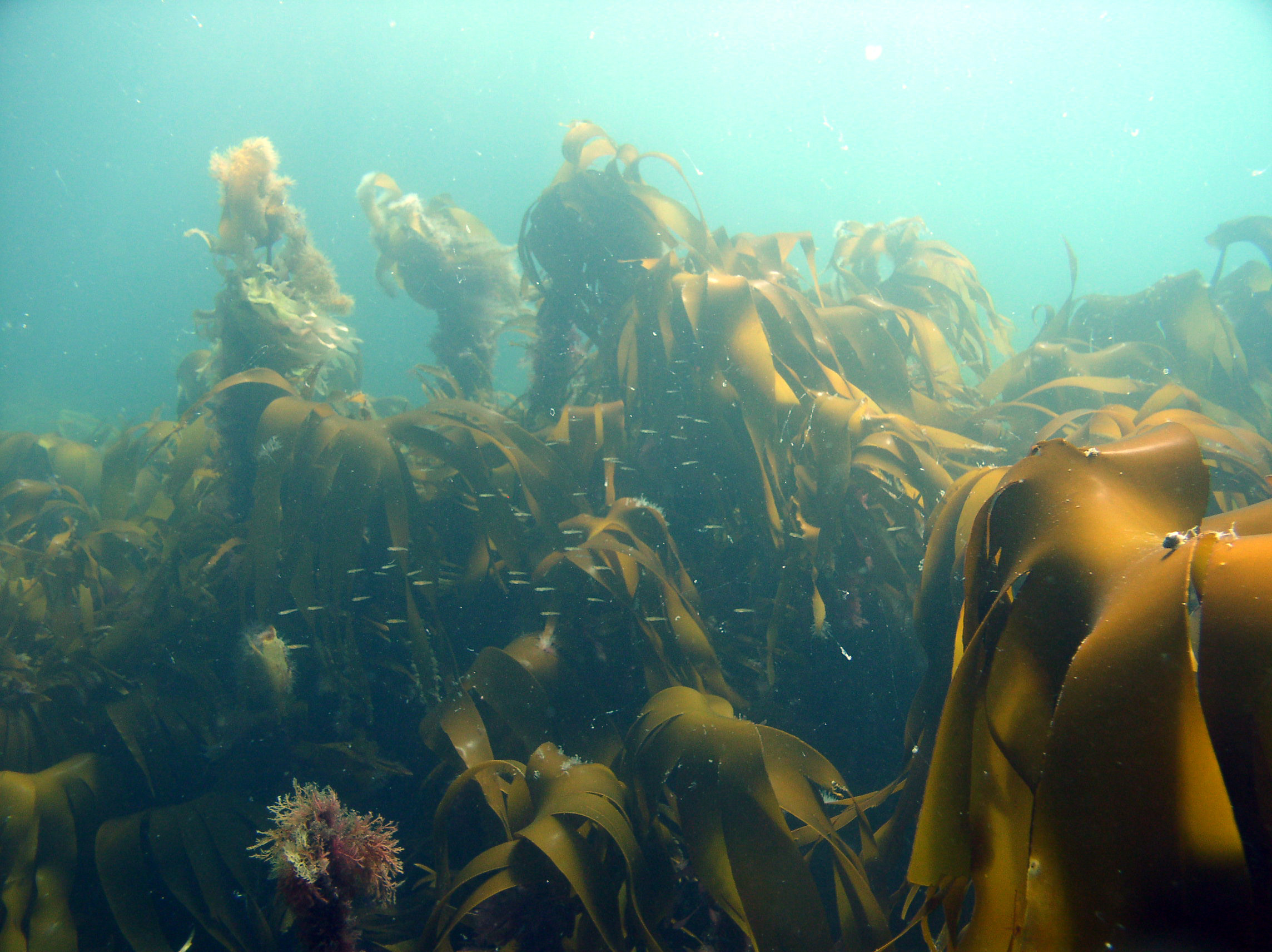 A shoal of small fish dart above the sunlit kelp (Laminaria hyperborea) at Taran Mor reef, Loch Reasort, west Isle of Harris. (c) Calum Duncan/MCS