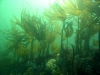 Cuvie (Laminaria hyperborea) kelp forest swaying gently in the tide beneath historic Fast Castle, Berwickshire. (c) Calum Duncan/MCS
