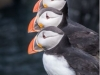 Atlantic puffins © Brookers' wild life