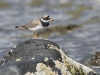 Ringed Plover © Brookers' wild life