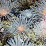 Sea-loch Anemones (Protanthea simplex), West Scotland, UK