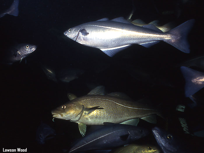 Size matters fisheries benefits of mpas for Benefits of cod fish